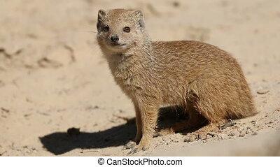 Yellow mongoose (Cynictus penicillata), Kalahari desert,...