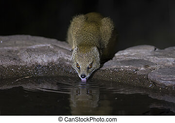 Yellow Mongoose drinks water from a waterhole in Kalahari desert at night