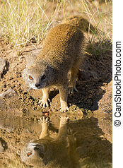 Yellow Mongoose drinks water from a waterhole in Kalahari desert