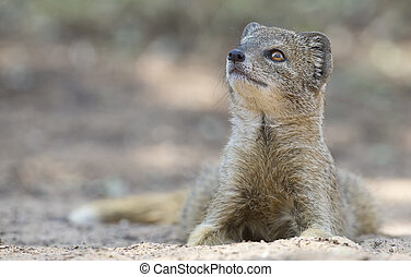 Yellow Mongoose lie down to rest on the Kalahari desert sand in shade