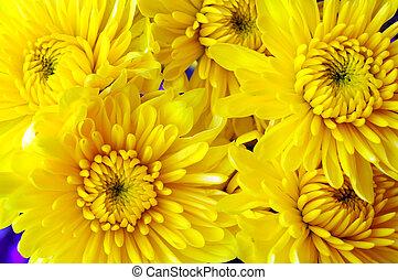 yellow mum daisy