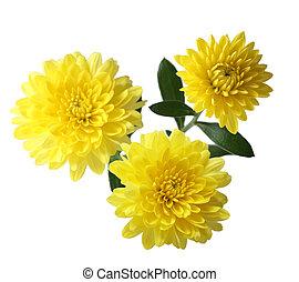 Yellow Mum - Three yellow hardy aster mum flowers isolated...