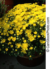 Yellow Mums - Yellow garden chrysanthemums at the farmers...