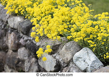 Yellow mustard flower and stone wall for background use.