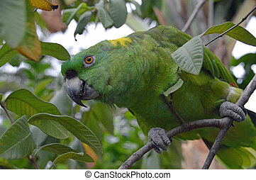 Yellow-naped Amazon Parrot perched in tree (1) - Photo of a...