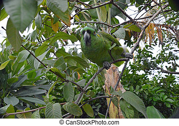 Yellow-naped Amazon Parrot perched in tree (2)