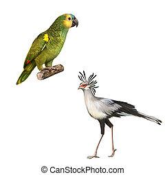 Yellow Naped Amazon Parrot, Secretarybird isolated on white background