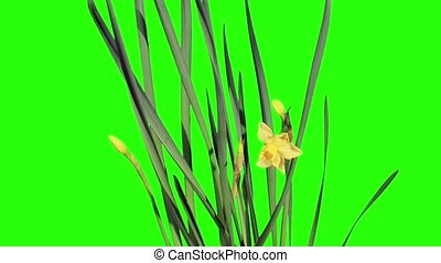 Yellow narcissus blossom buds green screen, FULL HD...