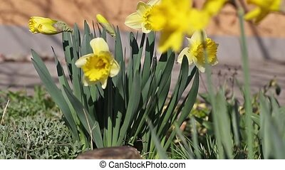 Yellow narcissus closeup - Flowering yellow narcissus...