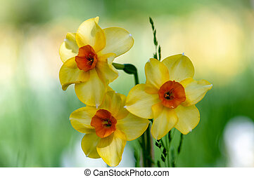 Yellow narcissus daffodil flower on sunshine and blur background