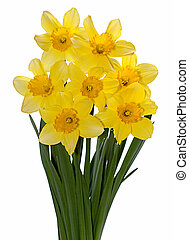 Yellow narcissus on white