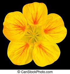 Yellow nasturtium flower Isolated on Black