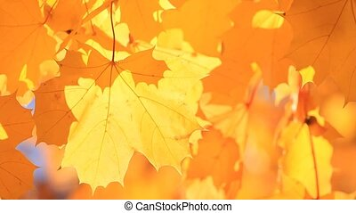 Yellow natural background autumn maple leaves