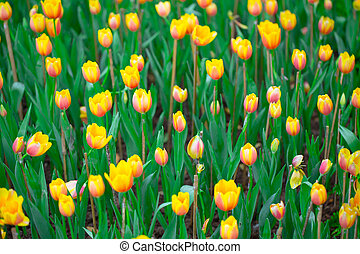 Yellow Netherlands tulips flower field blossom with in Netherlands.