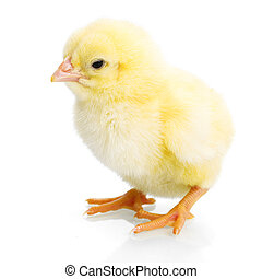 Yellow newborn chicken on reflective white