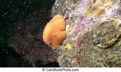 Yellow nudibranch slug underwater on seabed of Barents Sea....