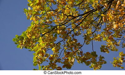 Yellow oak leaves against the blue sky.