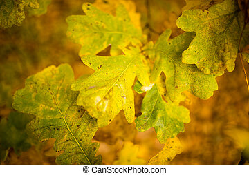 yellow oak leaves in the fall