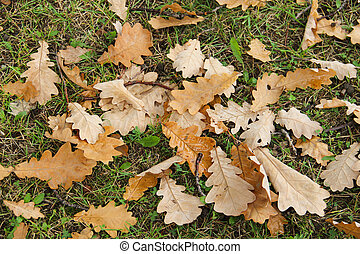 Yellow oak leaves on the grass