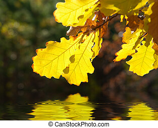 Yellow oak leaves over water