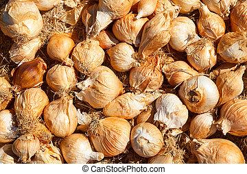 Yellow onions crop