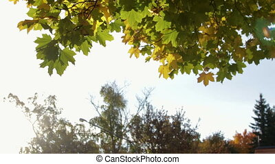 Yellow, orange and green maple leaves hang on the tree against the blue sky and swaying in the wind