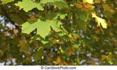 Yellow, orange and green maple leaves hanging on the tree and swaying in the wind