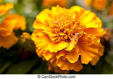 yellow orange flower Marigold