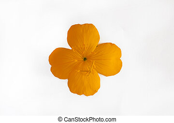 yellow orange flower with four petals isolated on white background