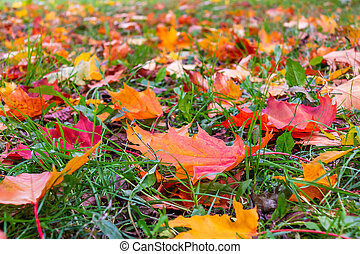 Yellow, orange, red leaves of maple on a green lawn, autumn landscape, background