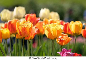 Yellow orange tulip flowers