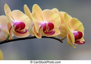 Yellow Orchid flowers