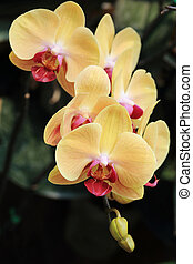 yellow orchid flowers in garden