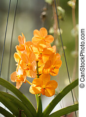 Yellow orchid in Garden