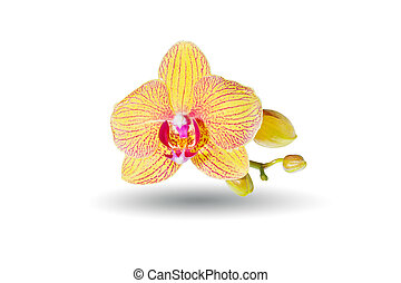 Yellow orchid isolated on white background