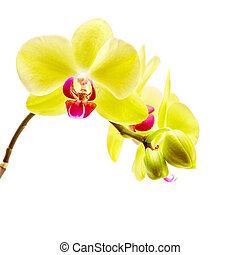 yellow orchid on white background