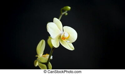 Yellow orchid phalaenopsis flower on a black background