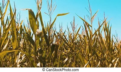 yellow organic corn field dry ripe corn the agriculture....