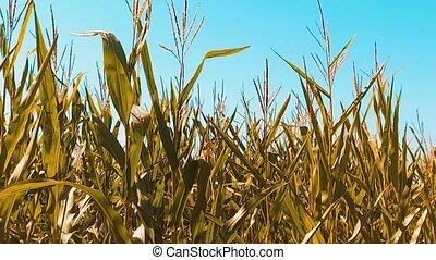 yellow organic corn field dry ripe corn the agriculture....