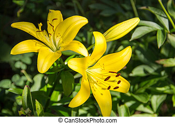 Yellow oriental lily in the garden