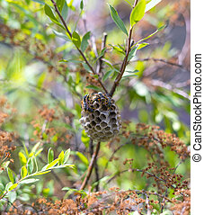 Yellow oriental paper wasp nest, the wasp can deliver several nasty stings at once and can be seen from the Tropical Pacific to Japan and into the Asian continent.