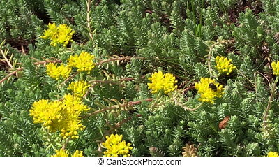 Yellow orpin plant - Yellow succulent orpin plant flower...