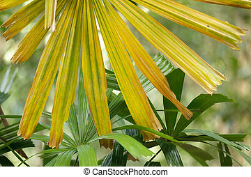 yellow palm tree