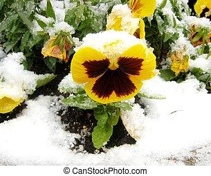 Yellow pansy under snow