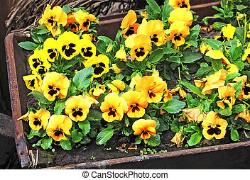 Yellow Pansy (Viola tricolor) flower in vintage flowerbed