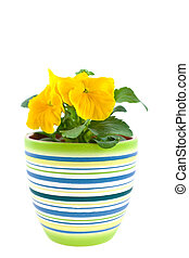 yellow pansy\'s sprout in ceramic pot