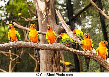 Yellow parrot, Sun Conure