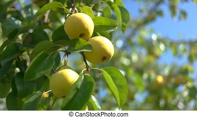 Yellow pears on branch. Sunshine and tree leaves. Fruits...