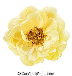 Yellow Peony Flower Isolated Top View