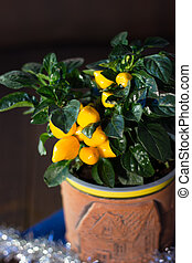 Yellow pepper in a flower pot as home plant.